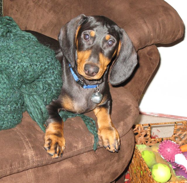 black and tan standard smooth dachshund