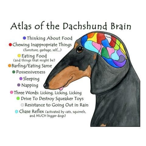 map of a dachshund brain