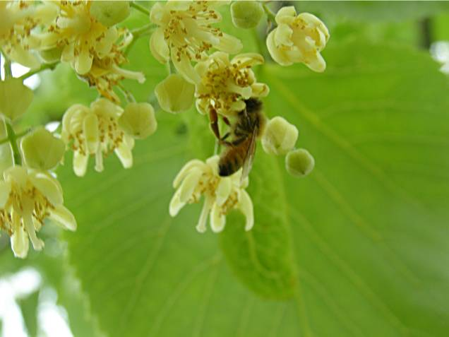 honey bee feeding on Linden bloom, Oregon