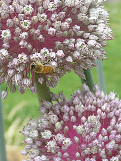 honey bee feeding on leek flower