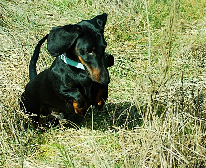 black and tan European standard smooth dachshund