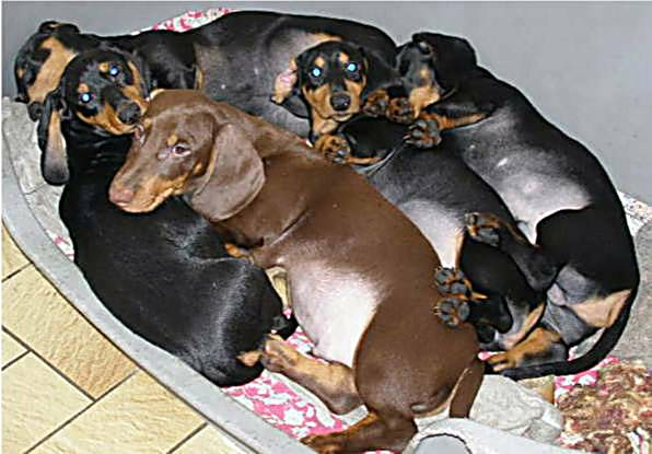 litter of standard smooth dachshunds