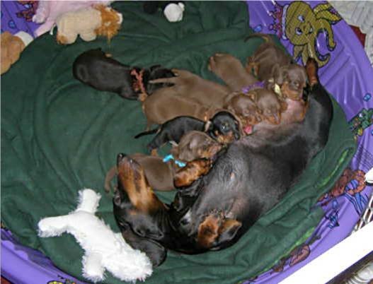 a look at the development of the dachshund Find and save ideas about dachshund personality on pinterest preferred long before the development of tabletop and look at all those dachshund puppy.