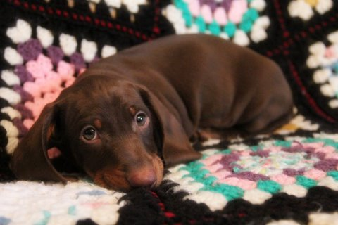 chocolate and tan standard smooth dachshund